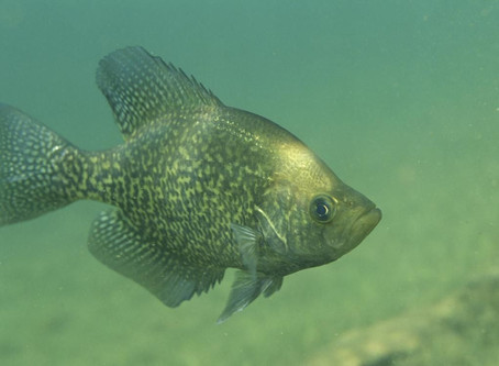 What do Crappie Eat..
