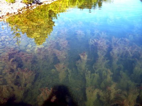 Eurasian_water_milfoil_(Hilton_Beach_Marina).jpg