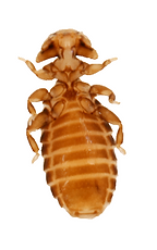 louse2_edited.png