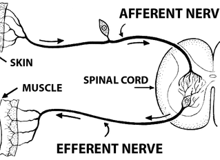 The Nervous System and Yoga