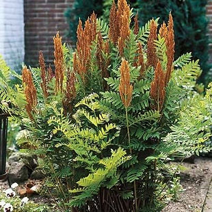 Cinnamon Fern.jpg