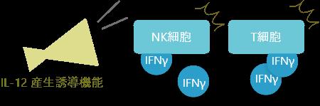 IL-12 産生誘導機能
