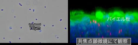 ナノ化処理乳酸菌
