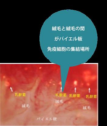 絨毛と絨毛の間 がパイエル板 免疫細胞の集結場所