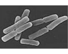乳酸菌・ビフィズス菌