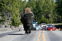 buffalo in road