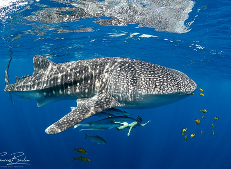Life's Bucket List: Whale Sharks