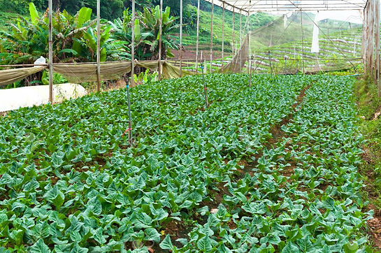 90873584-organic-vegetable-farm-garden-future-agriculture-for-safety-food-in-northern-thai