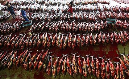 5000-dead-salmon-sharks-1024x682.jpg