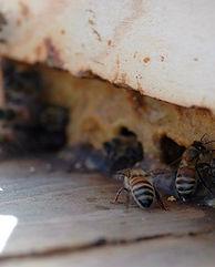 Hive Entrance Propolis.jpg