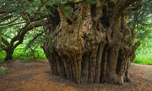 The Fortingall Yew.jpg