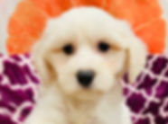 Bichon x Maltese puppy for sale in Calgary at the top dog store
