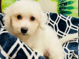 Bichon x Poodle mix puppy for sale at the top dog store