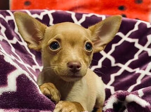 Chihuahua puppy for sale in Calgary at The Top Dog Store