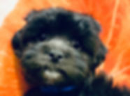 ShihTzu x Poodle puppy for sale in Calgary at The Top Dog Store