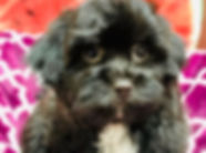 Bichon/ShihTzu x Havanese puppy for sale in Calgary at the top dog store