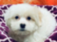 Bichon/ShihTzu x Poodle puppy for sale in Calgary at The Top Dog Store