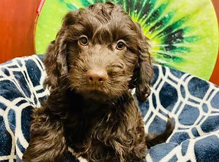 Cockapoo puppy for sale at the top dog store