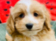 Cocker Spaniel x Pomeranian x Poodle puppy for sale in Calgary at The Top Dog Store