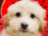 Bichon x ShihTzu x Poodle puppy for sale in Calgary at The Top Dog Store