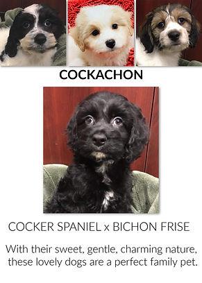 Cockachon