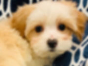 Yorkie x Bichon mix puppy for sal in Calgary at the Top Dog Store