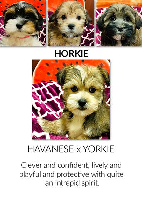 The Havanese x Yorkshire Terrier mixed puppy at the Top Dog Store