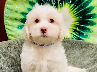 Bichon x ShihTzu x Poodle mix puppy for sale at the Top Dog Store