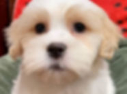 Bichon mix puppy for sale in Calgary