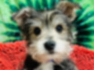 Schnauzer x Maltese mix puppy for sale in Calgary at the Top Dog Store
