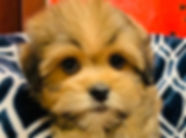 Bichon/ShihTzu x Havanese/ Yorkie puppy for sale in Calgary at the top dog store