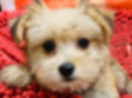 Maltese Yorkie mix puppy for sale in Calgary at The Top Dog Store