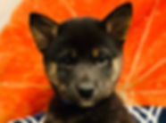 Shiba Inu puppy for sale in Calgary at The Top Dog Store