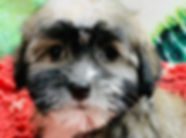 Havanese puppy for sale in Calgary at the top dog store