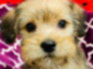 Havanese x Yorkie mix puppy for sale in Calgary at The Top Dog Store