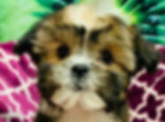 Shih Tzu x Yorkie mix puppy for sale in Calgary at the Top Dog Store