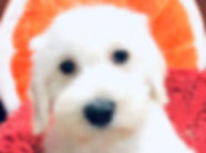 Bichon x Mini Schnauzer puppy for sale in Calgary at The Top Dog Store