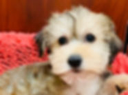 Yorkie x Havanese puppy for sale in Calgary
