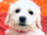 Bichon x Mini Schnauzer puppy for sale in Calgary at The Top Dog Store