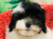 Poodle - Bichon - ShihTzu mix puppy for sale in Calgary