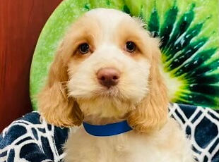 Cockapoo puppy for sale in Calgary at the Top Dog Store