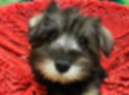 Mini Schnauzer puppy for sale in Calgary at The Top Dog Store