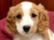 Cockapoo puppy for sale in Calgary