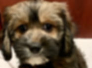 Spaniel Havanese mix puppy for sale in Calgary