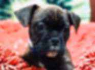 French x English bulldog mix puppy for sale in Calgary at the Top Dog Store