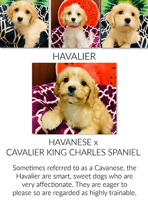 Havalier breed information at the Top Dog Store