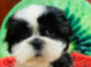 Shih Tzu puppy for sale in Calgary at the Top Dog Store
