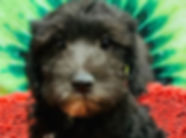 Schnauzer/Poodle mix puppy for sale in Calgary at The Top Dog Store