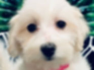 Maltese Bichon mix puppy for sale in Calgary at the Top Dog Store
