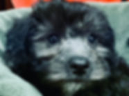 Havanese/Yorkie/Poodle mix puppy for sale in Calgary at the top dog store